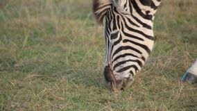 Close up of African plains zebra grazing stock video footage