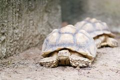Close up of AFRICAN SPURRED TORTOISE & x28;Geochelone sulcata& x29; tortoi. Ses,Land turtle,Sulcata Royalty Free Stock Image