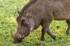 Close up of African warthog rooting for food  in grassland. Close up of face of African warthog rooting for food  in grassland Royalty Free Stock Photography
