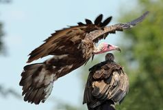 Close up of an African White Headed Vulture. Flying past with another bird in wait stock image