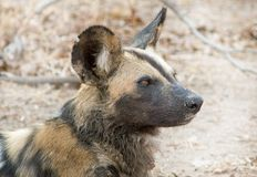 Close up of an african wild dog head side profile with a natural background stock photos