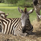 Close up African Zebra Royalty Free Stock Photography