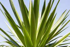 Close up of an agave Stock Photos