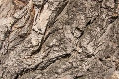 Close up aged cracked Old tree elm ulmus poplar wooden vintage b. Ark natural texture background Royalty Free Stock Photos