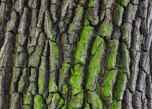 Close-up of aged oak bark - background, texture Royalty Free Stock Images