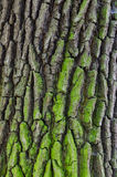 Close-up of aged oak bark - background, texture Royalty Free Stock Photos