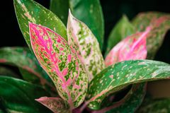 Close-up of Aglaonema `Red` houseplant leaves stock image