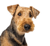 Close up of an Airedale Terriers. Looking at camera against white background royalty free stock images
