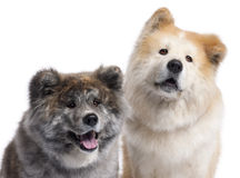 Close-up of Akita Inu Stock Image