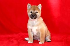 Close up of a Akita Inu puppy purebreed dog on red background Royalty Free Stock Images