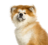 Close-up of Akita Inu, 1 year old Stock Photography