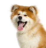 Close-up of Akita Inu, 1 year old Royalty Free Stock Photos