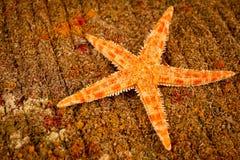 Close-up alaranjado brilhante do tiro da cor da estrela de mar fotos de stock