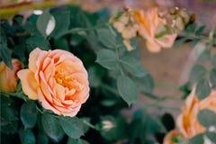 Close up alaranjado das rosas Fotografia de Stock