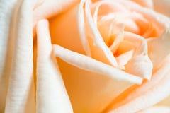 Close up alaranjado de Rosa Fotos de Stock