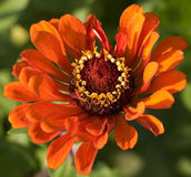 Close up alaranjado do Zinnia Fotos de Stock Royalty Free