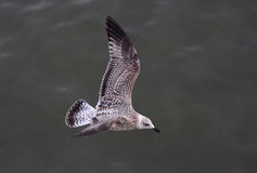 Close up Albatros. A photo of a flying seagull stock image
