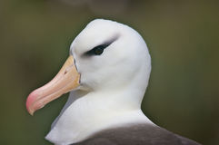 Close Up Of An Albatross Royalty Free Stock Photo