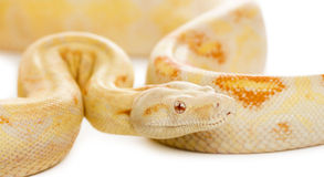 Close-up of an Albino royal python Royalty Free Stock Image