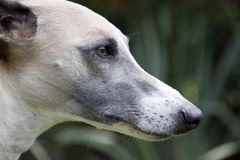 Close Up Of Alert Face Of Whippet Stock Photos