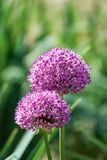 Close-up on Alium flowers composed of many delicate petals. Alium flowers are characterized by a violet-pink inflorescence reminiscent of dandelions Royalty Free Stock Photo