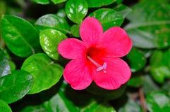 Allamanda flower, Pune. Close up of Allamanda flower at Pune Stock Images