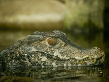 Close up of an alligator Royalty Free Stock Photography