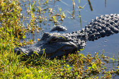 Close up of alligator in Everglades Royalty Free Stock Images