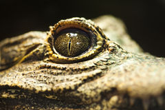Close-up of an alligator eye. Staring at the camera Royalty Free Stock Photo