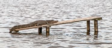 Close-up of an alligator lying on a plank in the water.  Royalty Free Stock Images