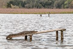 Close-up of an alligator lying on a plank in the water.  Stock Photography