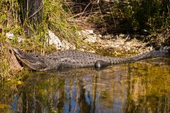 Close up or an alligator resting and sunning on a tropical shoreline. Close up or an alligator resting and sunning on a shoreline of a river in the Cypress Royalty Free Stock Image