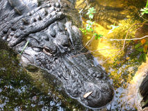 Close up of Alligator in swamp marsh. An alligator is a crocodilian in the genus Alligator of the family Alligatoridae. This is the American alligator A stock photo