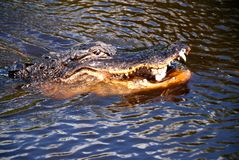 Alligator. Close-up on Alligator swimming in dark water in Everglades National Park royalty free stock photos