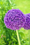 Close-up of an Allium Cristophii or Persion Onion Royalty Free Stock Photography