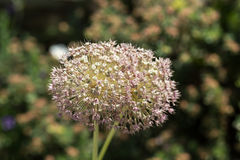 Close up of the allium flower head Royalty Free Stock Images