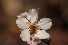 Close up of an Almond Blossom with a honeybee Royalty Free Stock Image