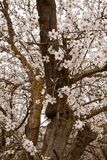 Close-up of almond blossoms in the springtime. Pink and white blossoms Stock Images