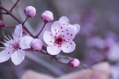 Close-up almond blossoms Stock Images