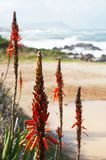 Close-up of aloe flowers. By the ocean on a sunny day in South Africa Stock Image