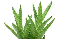 Close up of aloe vera Royalty Free Stock Photo