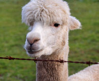 Close up of an Alpaca Stock Images