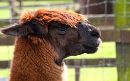 Close up alpaca Stock Photography