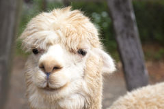 Close up of  alpaca  face Stock Photography