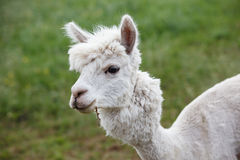 Close up of alpaca on the farm Stock Images