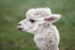 Close up of alpaca on the farm Stock Image