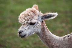 Close up of alpaca on the farm Stock Photography
