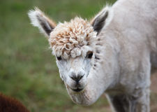 Close up of alpaca on the farm Royalty Free Stock Photography