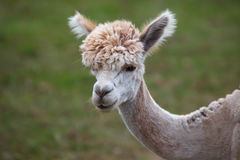Close up of alpaca on the farm Royalty Free Stock Photo