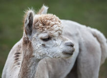 Close up of alpaca on the farm Royalty Free Stock Image